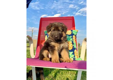 Fully registered German Shepherd Puppies 3 males & 5 females