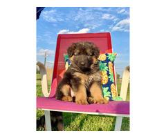 Fully registered German Shepherd Puppies 3 males & 5 females