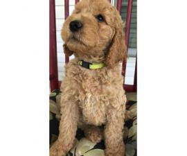 AKC Standard poodles for sale 2 males and ! female