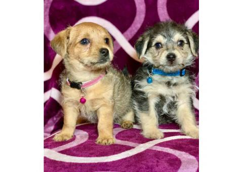 2 Yorkie / wire haired terrier Mixed puppies