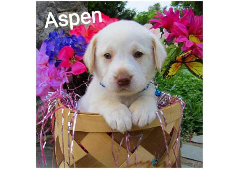 5 AKC registered Labrador retriever puppies