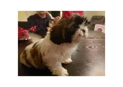 Purebred shihtzu puppies ready to go