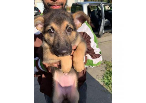 2 month old German Shepherd puppies