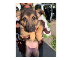 2 month old German Shepherd puppies