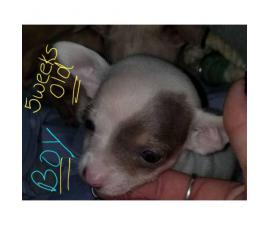 Chihuahua Puppies 3 Females & 1 Male