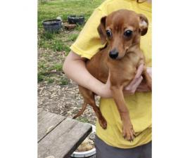 One male greyhound/dachshund mix puppy