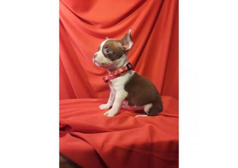 2 males Boston Terrier/Chihuahua Puppies