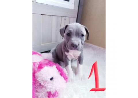 4 male and 1 female pit bull puppies