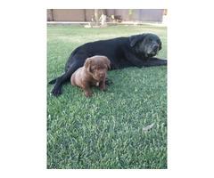 Lab puppies 7 females (4 black & 3 chocolate), 3 black males