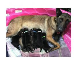 Belgian Malinois Puppies need homes