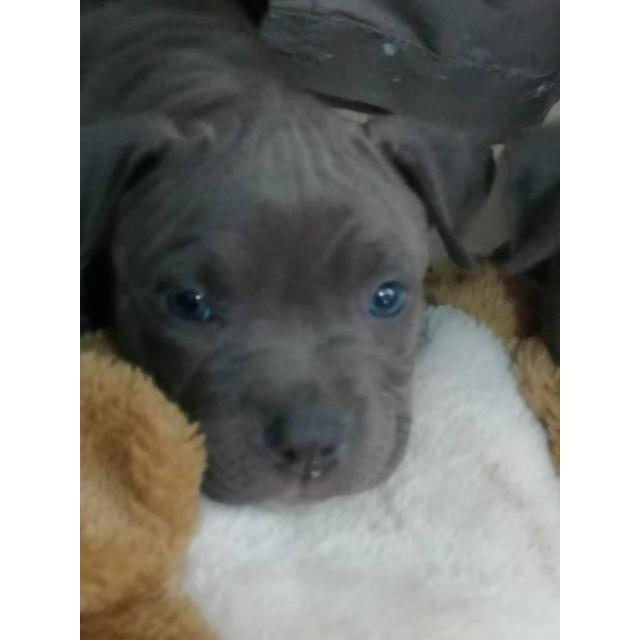 Blue Nose Pitbull Puppies For Sale In Los Angeles California Puppies For Sale Near Me