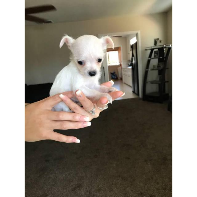Chihuahua and Yorkie Mixed Puppies in Colton, California ...