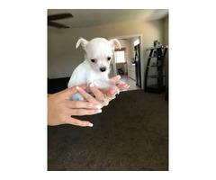 Chihuahua and Yorkie Mixed Puppies