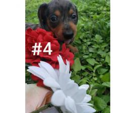 4 Mini Dachshund Puppies Left