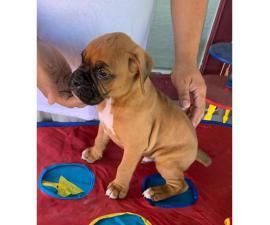 7 week old AKC boxer puppy for sale