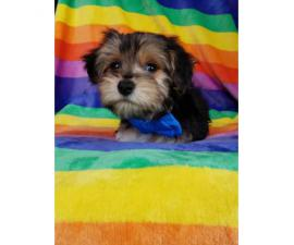 Beautiful male Yorkie puppy ready for a home