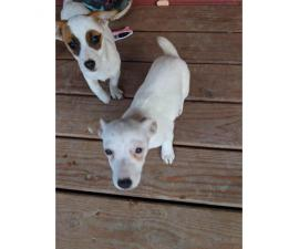 Two males Jack Russell terrier puppies