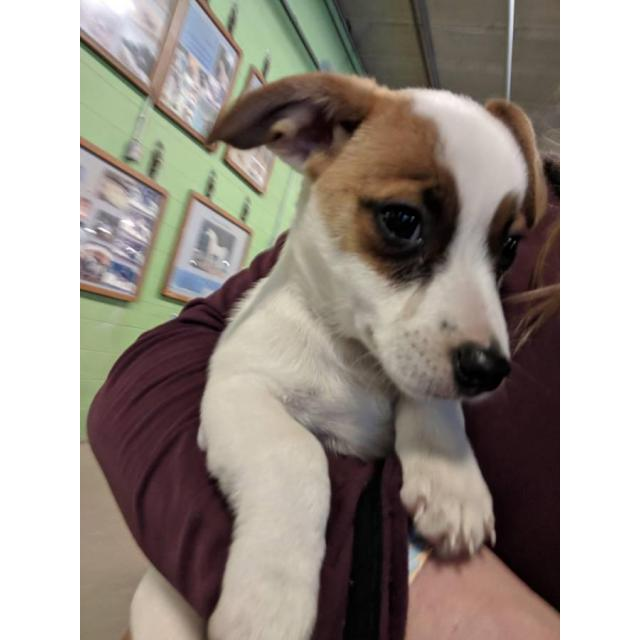 Ashley Near Me >> Two males Jack Russell terrier puppies in Jackson, Ohio ...