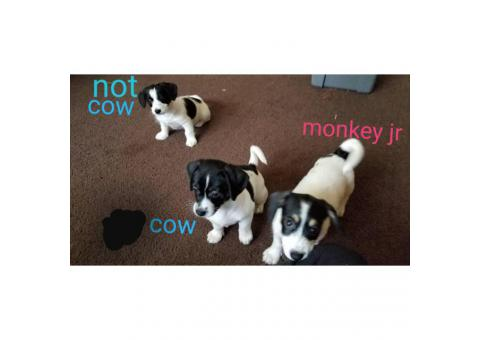 3 Chiweenie puppies available for rehoming