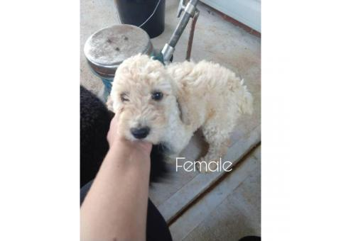Beautiful AKC Standard Poodle puppies