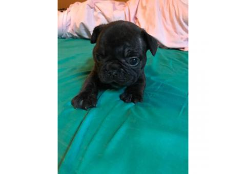 Micro French bulldog Lilac puppies for Sale