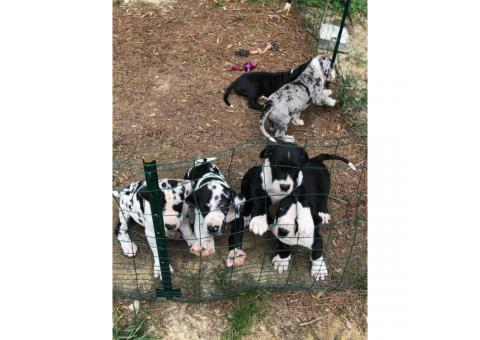 12 weeks old AKC Great Dane puppies only 4 left