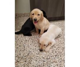 3 AKC male lab puppies for sale