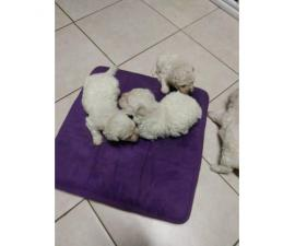 4 male Bichon puppies for sale