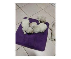 4 male Bichon puppies for sale