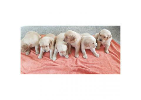 6 golden retriever puppies availble