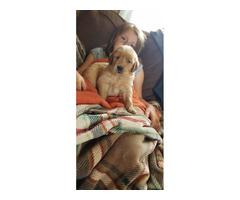 6 golden retriever puppies availble