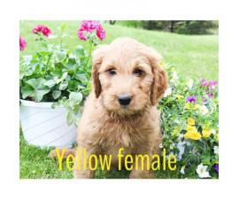F1 standard golden doodles for adoption