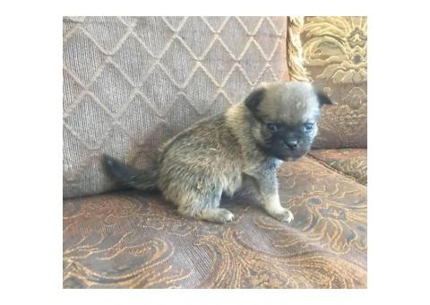Pom-a-Pug Puppies for Sale