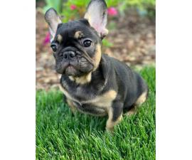 9 weeks old French Bulldogs