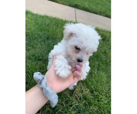 Female Bishon frise puppy for sale