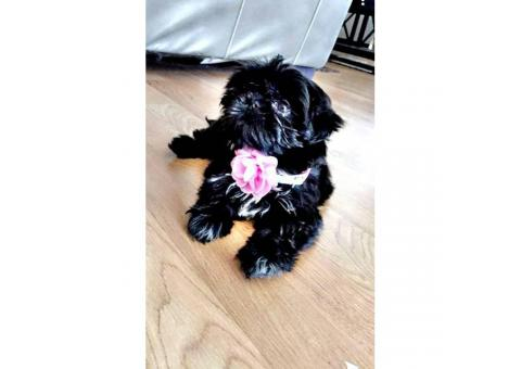 Beautiful 11 week old female Shih Tzu's for sale