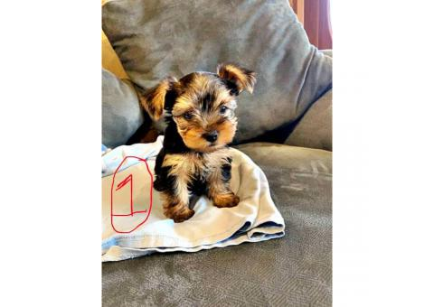 2 Yorkie puppies looking for a good home