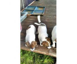Rehoming Jack's Puppies
