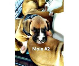 3 male boxer puppies for sale