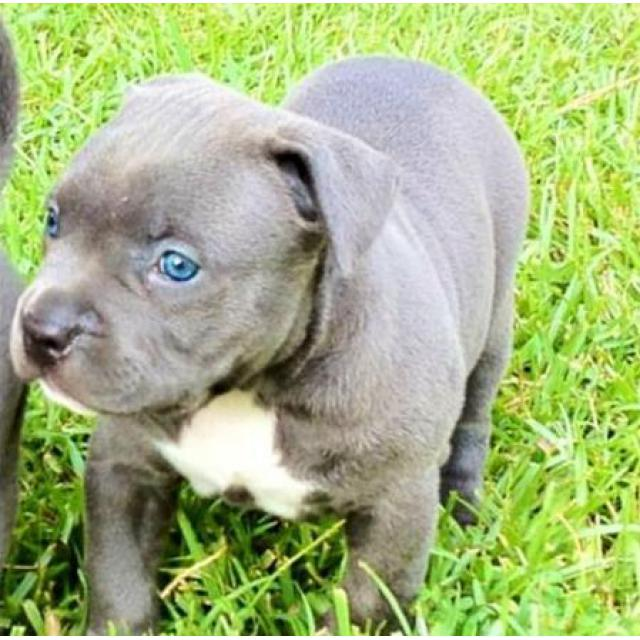 Royal Blue Pitbull Puppies In Colorado