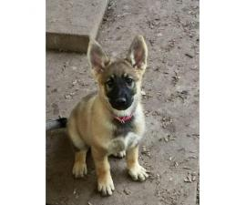 1 sable female and 1 black&tan male German Shepherds