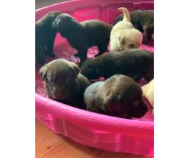 Lab Puppies 1 female and 4 males