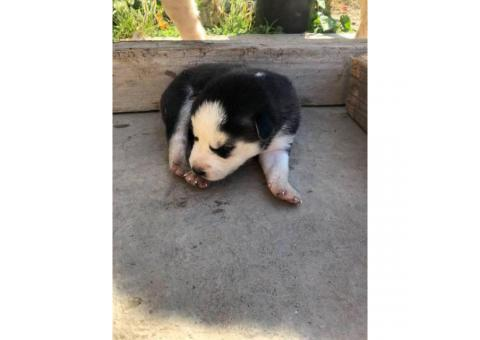 6 loveable husky puppies for sale