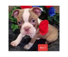 5 (five) beautiful AKC Boston Terrier puppies