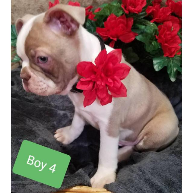 5  five  beautiful akc boston terrier puppies in athens