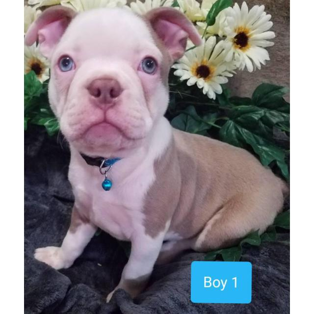 5 (five) beautiful AKC Boston Terrier puppies in Athens ...