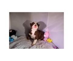 Siberian Husky Puppies 1 boy & 2 girls