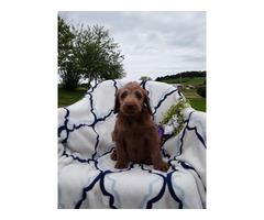 Labradoodle puppies $450