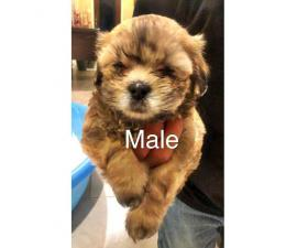 Malshi puppies 6 males & 1 females