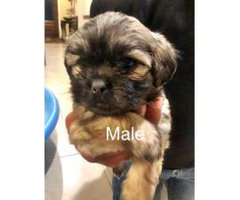 Malshi puppies 6 males & 1 females